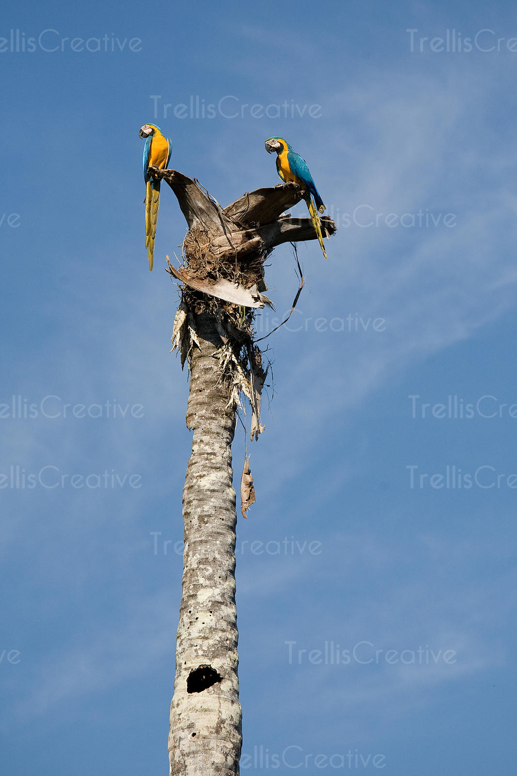 Macaw parrots mate for life and make their homes in hollow palm trees