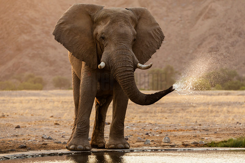 Portrait of a Desert Elephant at a Waterhole
