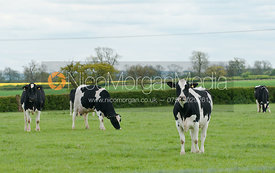 Holstein dairy cattle in a grass field in Leicestershire, England