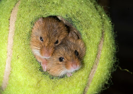 Harvest Mice Micromys minutus in tennis ball Norfolk summer