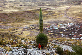 Person looking at Puya raimondii in flower on hillside above Comanche village, Bolivia
