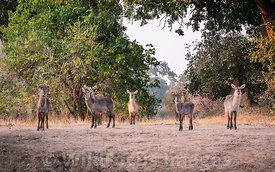 Waterbuck (Kobus ellipsiprymnus) at Mucheni #3 camp, Mana Pools National Park, Zimbabwe; Landscape
