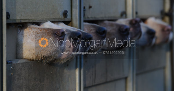Fox hound noses emerge from their trailer