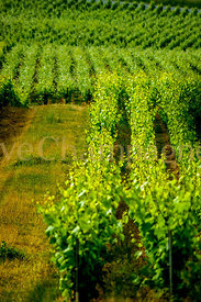 Champagne-Vineyard