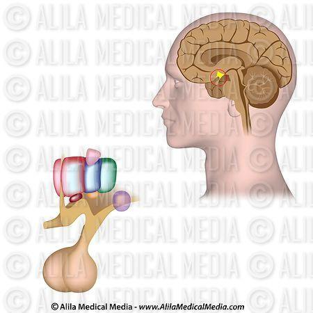 Alila Medical Media | Hipotálamo y glándula pituitaria, animación en ...