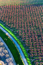 Peach Orchards in Bloom from the Air #11