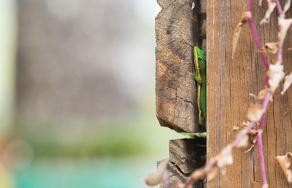 Lined Day Gecko Hiding