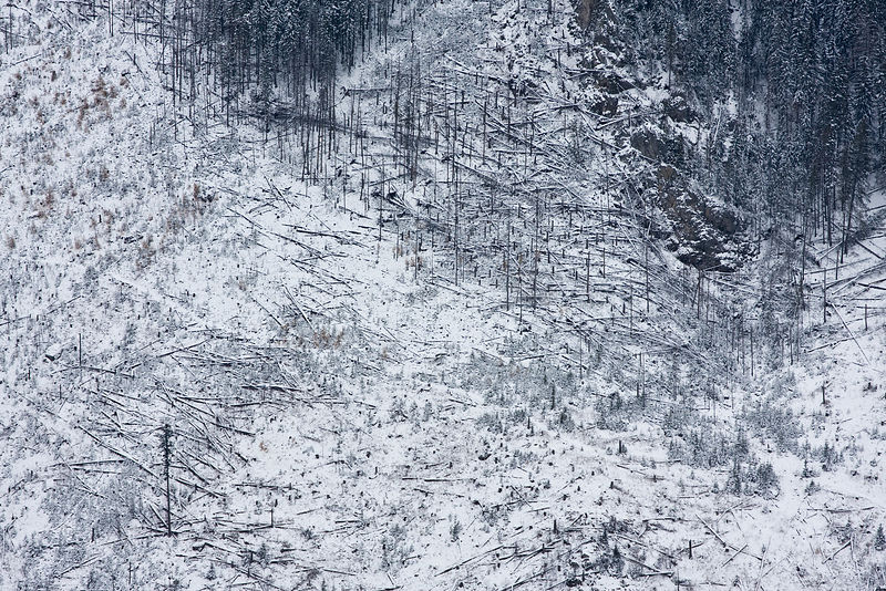 Forest trees  affected by Bark Beetle (Curculionidae) infestation. Belianske Tatry, Slovakia, November 2007.