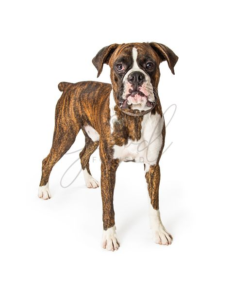 Boxer Purebred Dog Standing Looking Forward