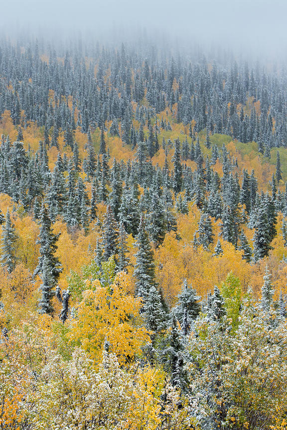 Quaking aspen trees (Populus tremuloides) and conifers with dusting of snow, Dome Hill above Dawson City, Yukon Territories, Canada, September 2013.