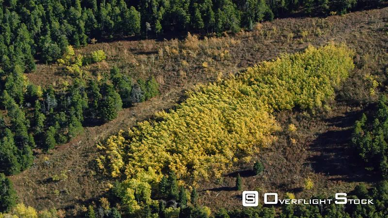 A group of quaking Aspen trees in full autumn color sits near the Beartooth mountain Range, southern Montana