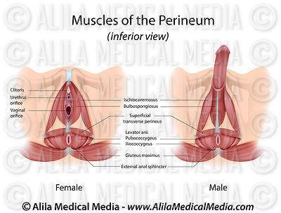 Perineum muscles in male and female labeled.