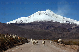 Llamas ( Lama glama ) crossing dirt road in front of active Guallatiri volcano , Las Vicuñas National Reserve , Region XV , Chile