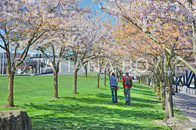 Young couple among cherry blossoms