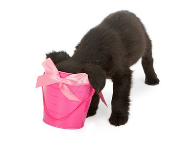 Puppy sticking head in pink bucket