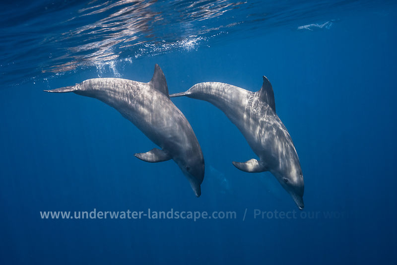 Two bottlenose dolphins  in Mayotte island