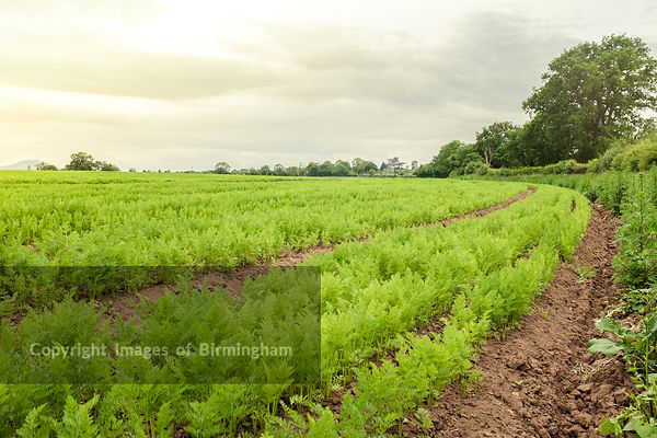 A field of carrots, Shropshire