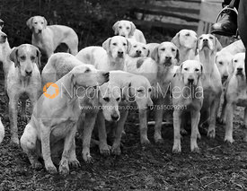 Cottesmore hounds at the meet - The Cottesmore Hunt at Home Farm 31/1