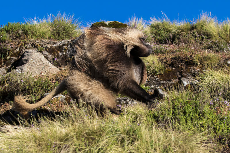 Male Gelada Baboon in Hot Pursuit of Rival