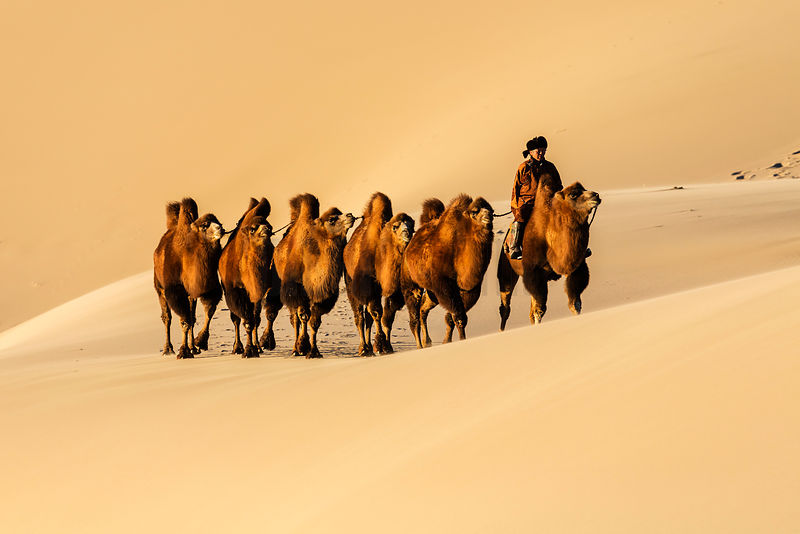 Camel Herder Leading his Camels in the Dunes