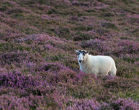 Sheep in purple heather