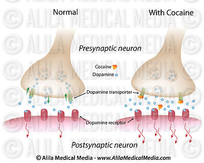 Action of cocaine on dopaminergic synapse.