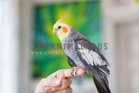 Cockatiel bird perches on female owner's finger