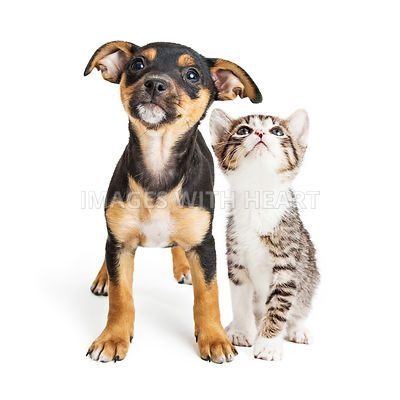 Young Kitten and Puppy Together Looking Up