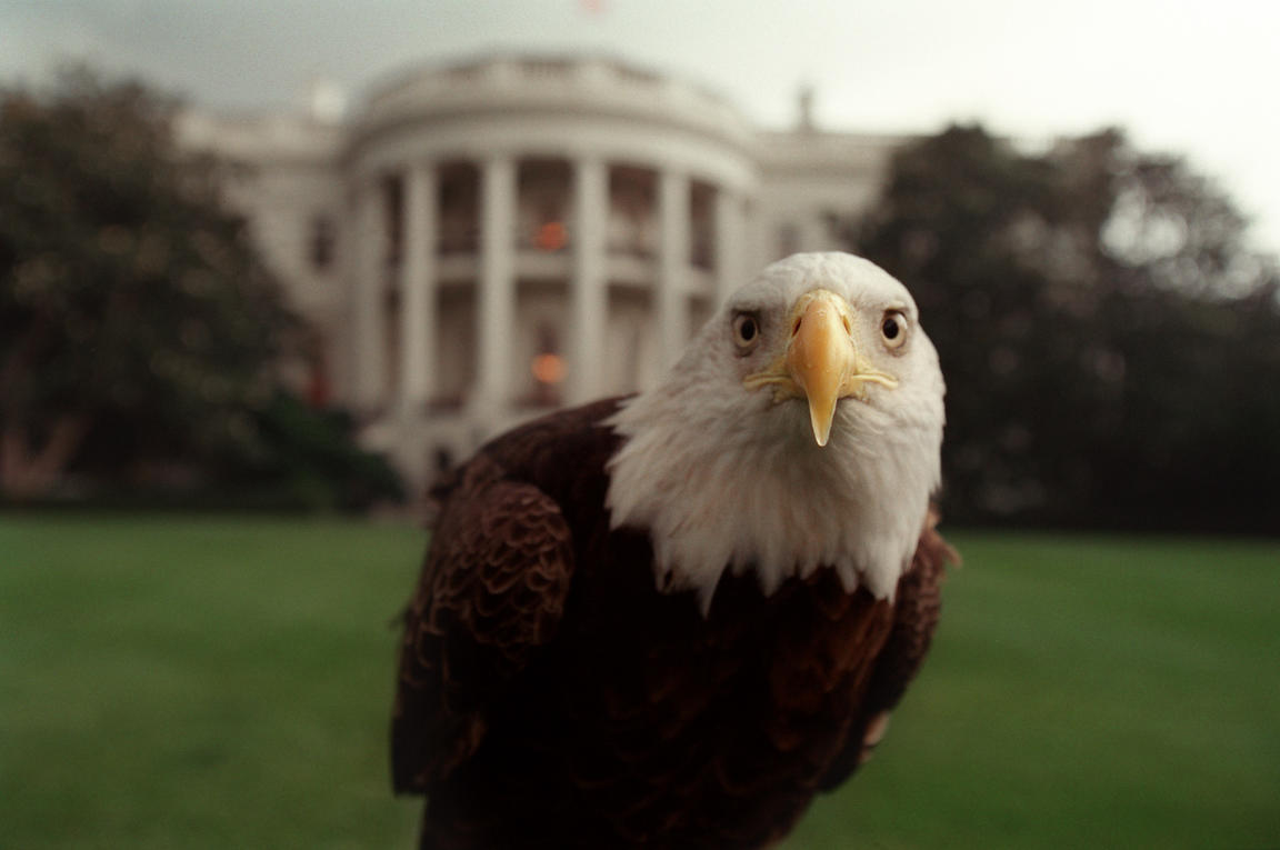 Bald Eagle, South Lawn.
