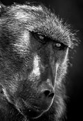8913-Portrait_of_baboon_Laurent_Baheux