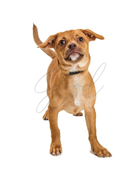 Cute Mixed Small Breed Tan Color Dog