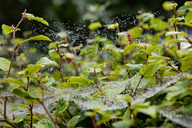 Rain on cobwebs