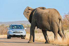 African Elephant and Car face off