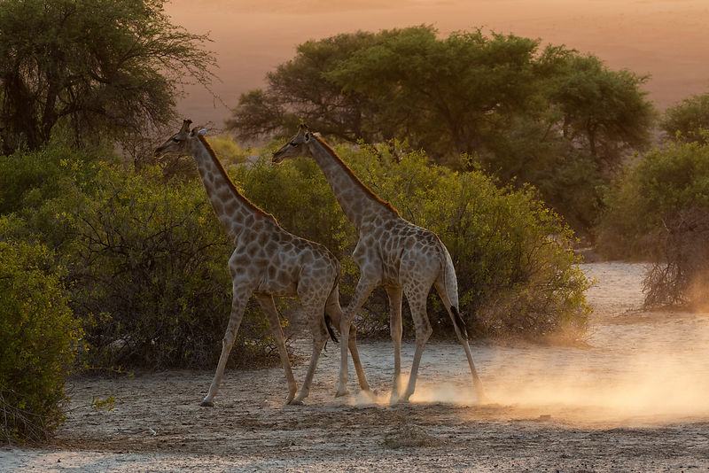 Giraffes Walking in Dry Riverbed