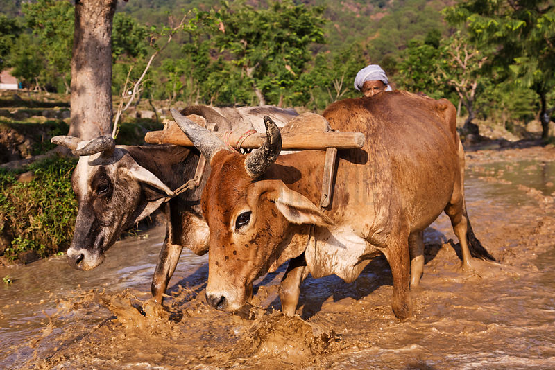Rice Farmer Preparing Paddy with Two Oxen
