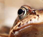 FA030_Common toad