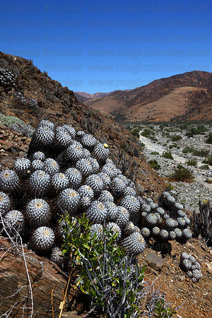 Copiapoa cactus (Copiapoa dealbata var. carrizalensis) growing on hillside in valley, Llanos de Challe National Park , Region III , Chile