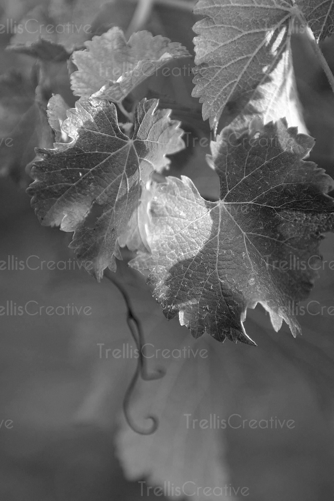 Trellis Creative | Grape Vine