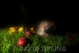 European Hedgehog  Erinaceus europaeus feeding  in garden at night Norfolk