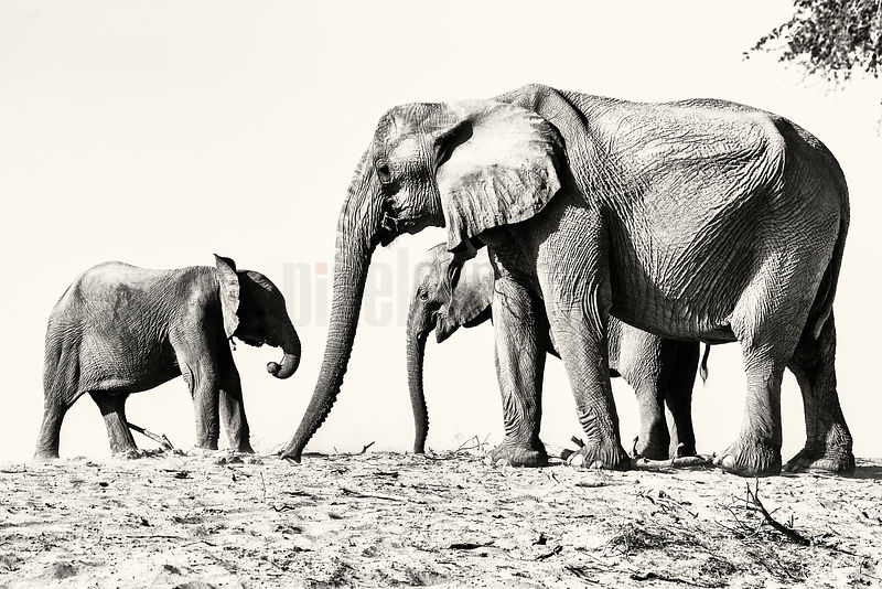 Desert Adapted Elephant Family
