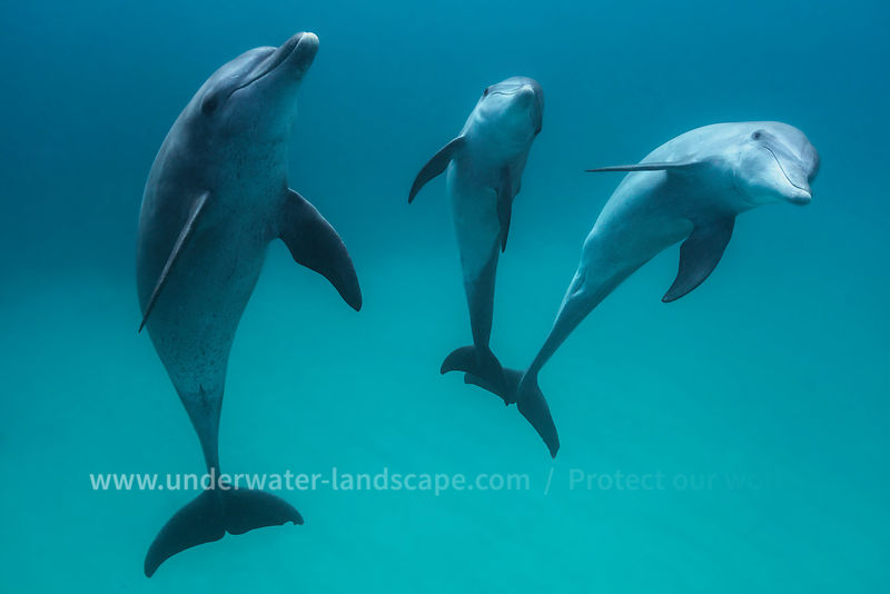 Bottlenose Dolphin under the lagoon
