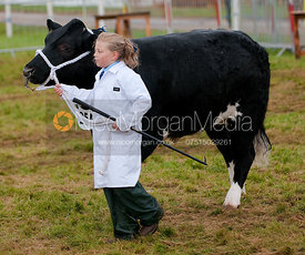 Cattle being shown by a young girl handler, Rutland Show