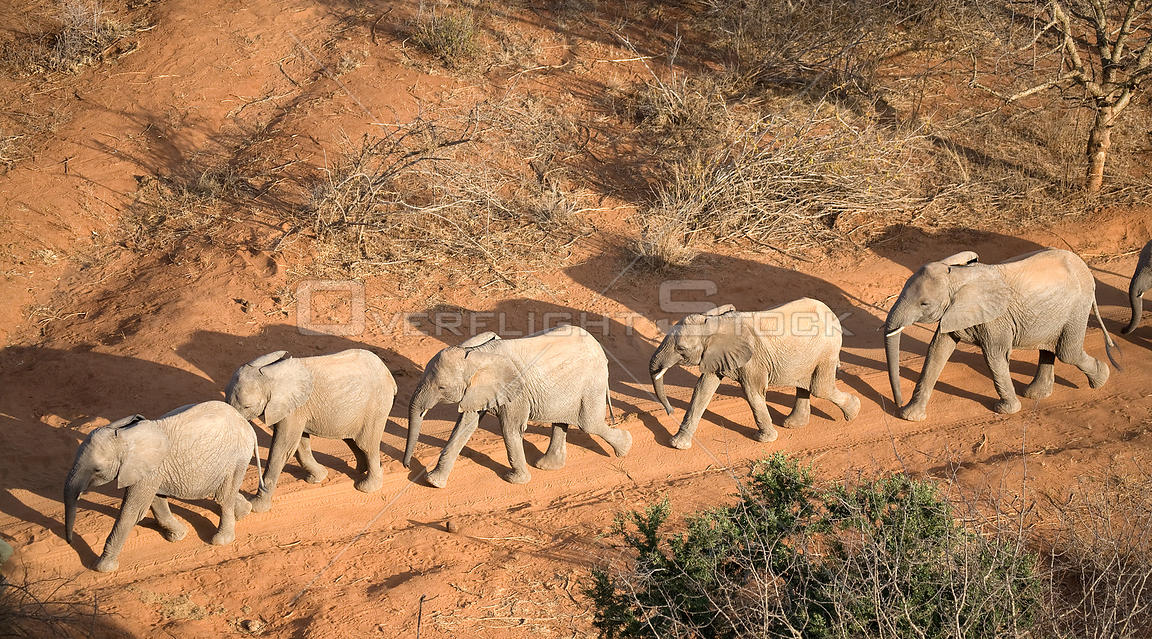 Aerial of orphaned elephants on a walk-about in Tsavo National Park. Near David Sheldrick Wildlife Trust Nairobi Elephant Nursery, Kenya, August 2008.