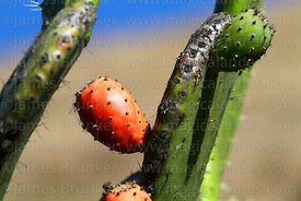 Close up of fruit (called tuna) on Opuntia ficus-indica or prickly pear cactus