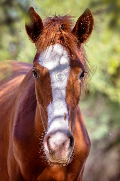Closeup Portrait of Wild Horse