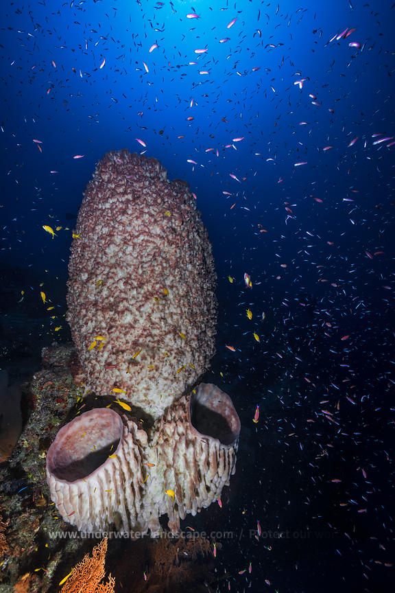 Barrel-sponge - Deep dive - Underwater