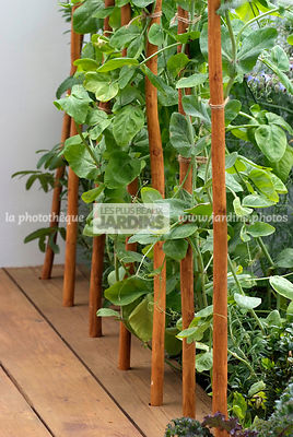 Annual, Climbing, garden designer, mangetout, Support, Vegetable,