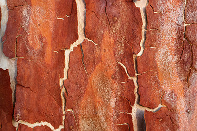 Peeling bark on Corymbia citriodora tree.