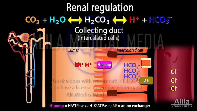 Renal handling of acid-base balance - distal/collecting tubular cells.