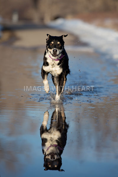 Large mutt running through a puddle